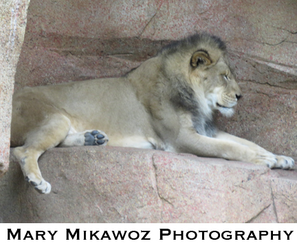 Mikawoz Lion King