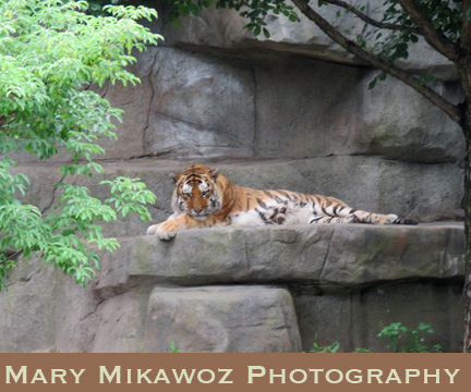 Mikawoz Reposing Tiger