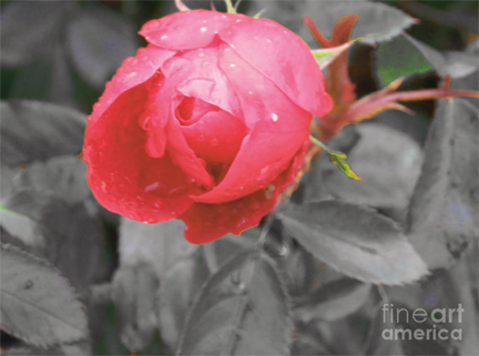 Mikawoz Valentine Rose